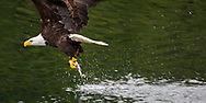 bald eagle flies off with fish