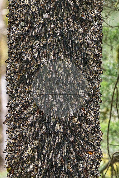 Monarch butterflies mass together on the trunk of an Oyamel Fir tree to stay warm on a chilly day in their over-winter site in the Cerro Pelon Monarch Butterfly Preserve near Macheros, Michoacan, Mexico. The monarch butterfly migration is a phenomenon across North America, where the butterflies migrates each autumn to overwintering sites in Central Mexico.