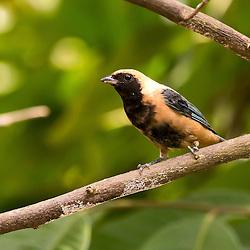 Saíra-amarela fotografada pelo Instituto Últimos Refúgios, em Domingos Martins-ES. Esta ave habita matas abertas e também parques e jardins. Vive aos pares ou em pequenos grupos.