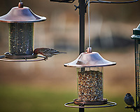 House Finch and Chipping Sparrow. Image taken with a Nikon Df camera and 300 mm f/4 telephoto lens (ISO 640, 300 mm, f/4, 1/320 sec)