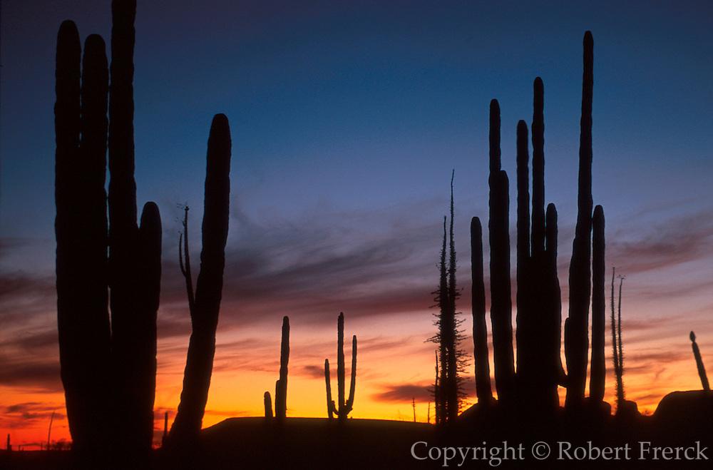 MEXICO, BAJA CALIFORNIA Central Desert, 'Boojum' Cirio trees