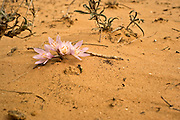 Egyptian Meadow-Saffron (Colchicum ritchii) Photographed in the Negev desert Israel in February