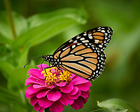 Spicebush Swallowtail butterfly feeding on a Zinnia Flower. Image taken with a Nikon 1 V3 camera and 70-300 mm VR lens