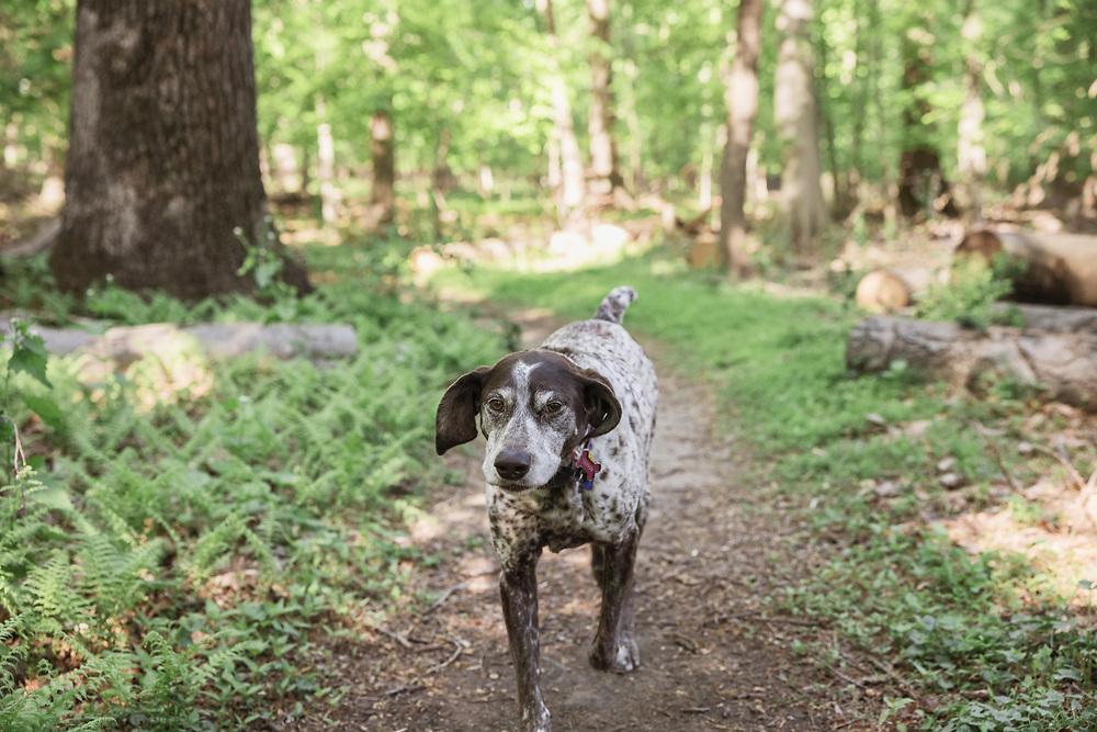 pointer running down a  trail