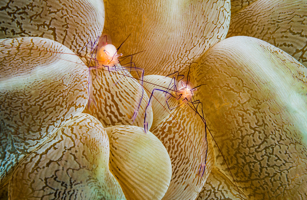 Bubble coral shrimp (Vir philippinensis) on Bubble coral (Plerogyra sp). Image made off Anilao, Philippines.