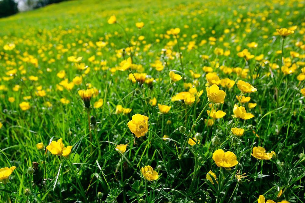 Buttercups in meadow, England