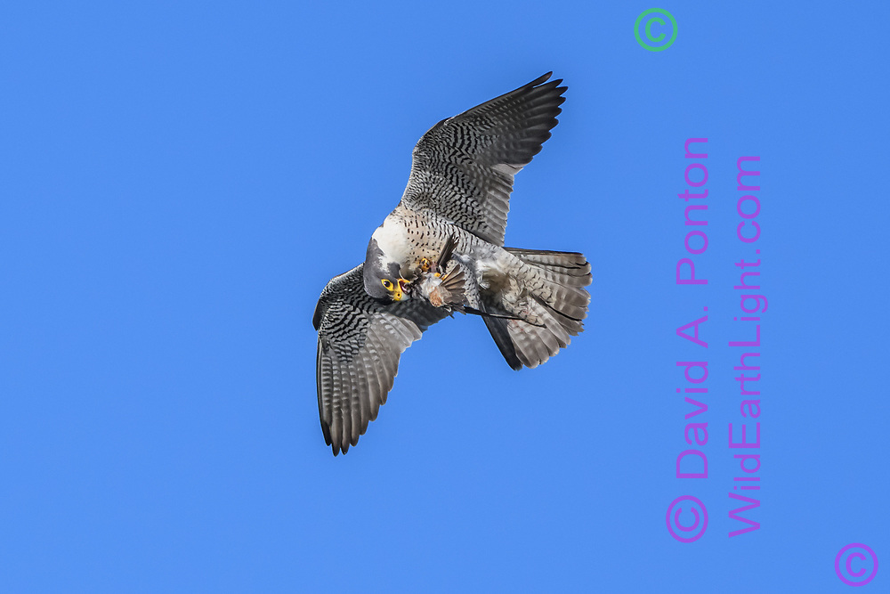 Peregrine falcon with just-captured prey, a cliff swallow, is about to grasp the prey with its beak, probably to enable repositioning feet and talons for a better grip, © David A. Ponton