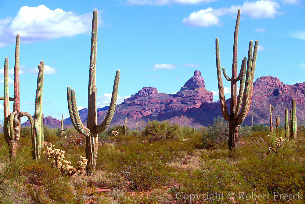 ARIZONA, NATIONAL PARKS Organ Pipe National Monument; Organ Pipe cactus in the Sonoran desert on the Mexican border