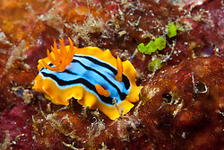 A colorful juvenile nudibranch, Chromodoris hamiltoni, browses on rocky substrate. Andaman Islands, India, Andaman Sea