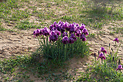 Iris atrofusca (Judean iris or Gilead iris) is a species in the genus Iris, where it is placed in the subgenus Iris and the section Oncocyclus. It is a rhizomatous perennial from the deserts of Israel and Jordan. The species has long falcate (sickle-shaped) or ensiform (sword-shaped) leaves, a long thick stem and large fragrant flowers that come in shades of purple brown, reddish-black, black-brown, dark brown, dark lilac or dark purple. The flowers also have a black or brownish-black signal patch and a thick beard that is brown-black, light brown or yellow tipped with brown. Photographed in the Jordan Rift Valley, Israel in March
