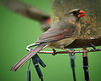 Northern Cardinal. Image taken with a Nikon D5 camera and 600 mm f/4 VR telephoto lens (ISO 500, 600 mm, f/5.6, 1/1250 sec).