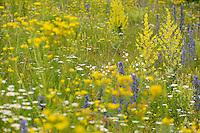 Flowering field with Verbascum and  Echium and Leucanthemum, North Velebit National Park,  Velebit Nature Park, Rewilding Europe rewilding area, Velebit  mountains, Croatia