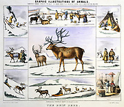 The Reindeer: Importance as milk; meat; clothing; transport; shelter. Hand-coloured lithograph published London c1850. From 'Graphic Illustrations of Animals and Their Utility to Man'