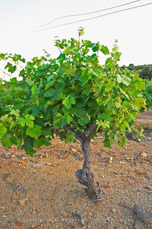 Goblet pruned vines in the vineyard. Syrah. Caramany, Ariege, Roussillon, France