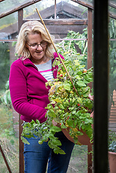 Clearing the greenhouse at the end of the season before winter. Removing old tomato plants.