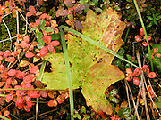 Leaves turn red and yellow in late August in Denali National Park and Preserve, Alaska, USA.