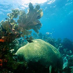 symmetrical brain coral, Diplora strigosa, .and sea fan, Gorgonia sp.,  North Elbow, .Key Largo, Florida Keys National .Marine Sanctuary, Florida (Atlantic).