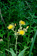 MARSH SOW THISTLE