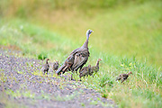 hen turkey feeds along a trail with her brood