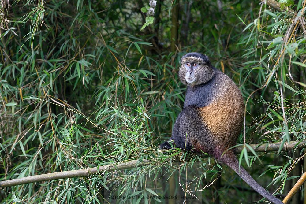 Eine Goldmeerkatze (Cercopithecus kandti) sitzt auf einem Bambuszweig, Parc National des Volcans, Virunga, Ruanda<br /> <br /> A golden monkey (Cercopithecus kandti) is sitting on a bamboo branch, Parc National des Volcans, Virunga, Rwanda
