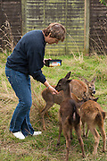 European Roe Deer (Capreolus capreolus)<br /> Secret World Wildlife Rescue Center<br /> Somerset<br /> England<br /> UK<br /> captive