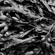Seaweed close up, Dritvik beach, Iceland