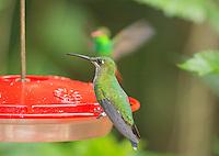 Female green-crowned brilliant hummingbird, Heliodoxa jacula, perched on a feeder at San Jorge Eco-Lodge, Milpe, Ecuador