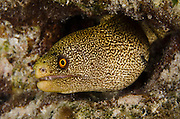 Goldentail Moray (Gymnothorax miliaris)<br /> BONAIRE, Netherlands Antilles, Caribbean<br /> HABITAT & DISTRIBUTION: Shallow to midrange reefs. Florida, Caribbean, Bahamas, Gult of Mexico, Bermuda south to Brazil