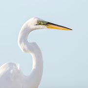 Portrait of great egret (Ardea alba) lit by evening sunlight.