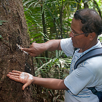 Bedar Chavez, an Indian naturalist, shows natural latex seeping from a cut he made in a rubber tree.