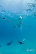 diver and snorkelers gather around reef manta rays, Manta alfredi (formerly Manta birostris ), feeding on plankton, Hanifaru Bay, Hanifaru Lagoon, Baa Atoll, Maldives ( Indian Ocean )