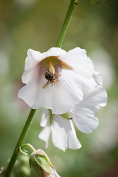 Bee on hollyhock. Alcea