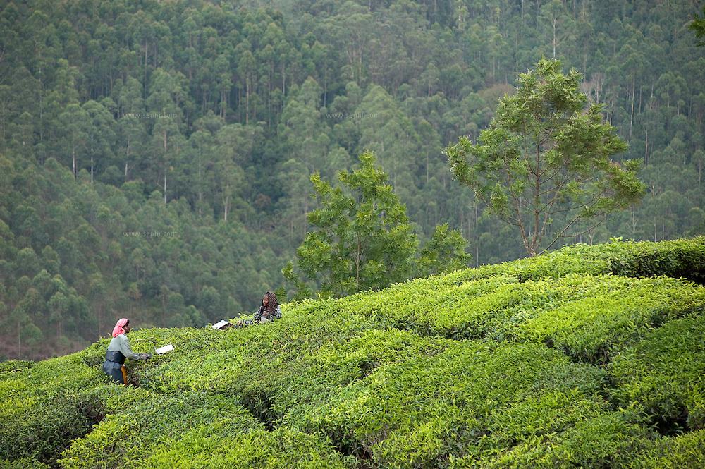 Local women picking tea in the plantations, Munar, Kerala