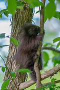 Baby porcupine climbing in a tree