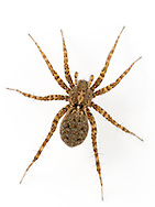 Pardosa hortensis - Female. Occurs on sparsely vegetated ground in a range of habitats.