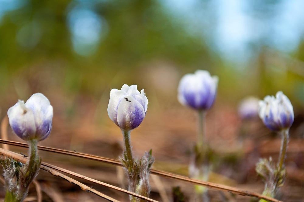Emerging spring Meadow Nemophila (Nemophila pedunculata) in Buck's Lake Wilderness in the Northern Sierras.