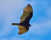 Turkey Vulture Soaring. Biolab Road, Merritt Island National Wildlife Refuge. Image taken with a Nikon D4 camera and 500 mm f/4 VR lens (ISO 500, 500 mm, f/8, 1/1000 sec).