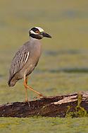 Yellow-crowned Night Heron - Nyctanassa violacea