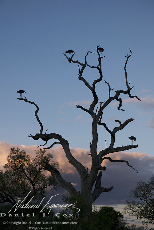 A dead tree with Marabou Storks, Malamala Game Reserve, South Africa.