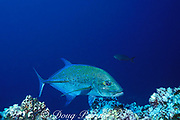 bluefin trevally or jack, Caranx melampygus, Cocos Island ( Eastern Pacific Ocean )