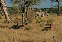 Southern ground hornbills (Bucorvus cafer) in the savanna.