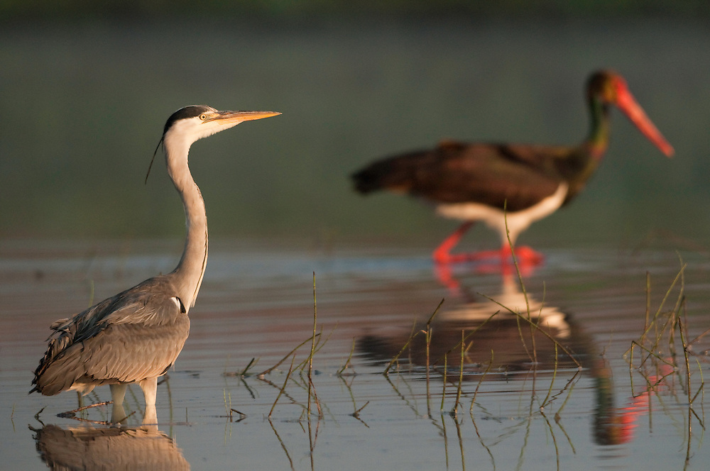 Grey Heron (Ardea Cinerea) and Black Stork (Ciconia Negra) in the fishery pond around Prypiat area, Belarus