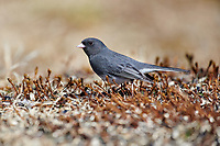 Male Dark-eyed Junco (Junco hyemalis) Slate-colored sub-group, foraging for seed in garden,  Cherry Hill, Nova Scotia, Canada,