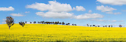 trees in a field of flowering canola crop under blue sky and cumulus cloud at Woodstock, New South Wales, Australia. <br /> <br /> Editions:- Open Edition Print / Stock Image