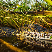Cuban crocodiles tend to stay inland and prefer brackish water. American crocodiles prefer coastal mangrove lagoons. As the ocean rises due to climate change, the two are coming into conflict, and interbreeding, more frequently.