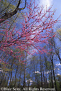 Spring Redbud Tree, Tuscarora State Forest, Perry Co., Pennsylvania