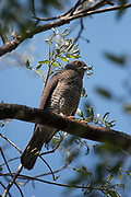 Banded kestrel (Falco zoniventris)<br /> Ampijoroa<br /> Ankarafantsika Nature Reserve<br /> West Madagascar<br /> MADAGASCAR<br /> ENDEMIC