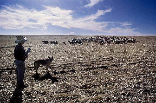 Spanje, Merida, 10-9-2004..Een herder met zijn kudde schapen in Extremedura...Droogte maakt zuid Spanje tot een probleemgebied...Foto: Flip Franssen/Hollandse Hoogte
