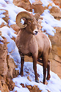 Painterly effects of a bighorn ram in Yellowstone National Park in winter.