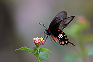 Common Rose butterfly, Pachliopta aristolochiae, Sheding Forest park, Kenting National Park, Taiwan